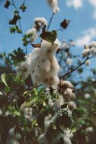 U.S. is still the leading cotton supplier worldwide.