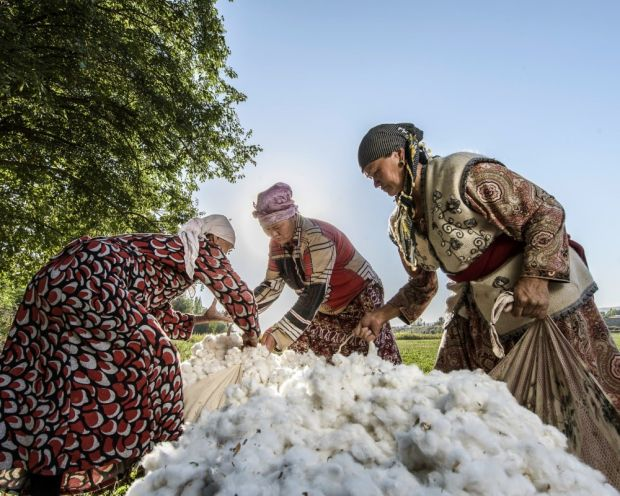 Cotton harvest in Kyrgyzstan for Cotonea