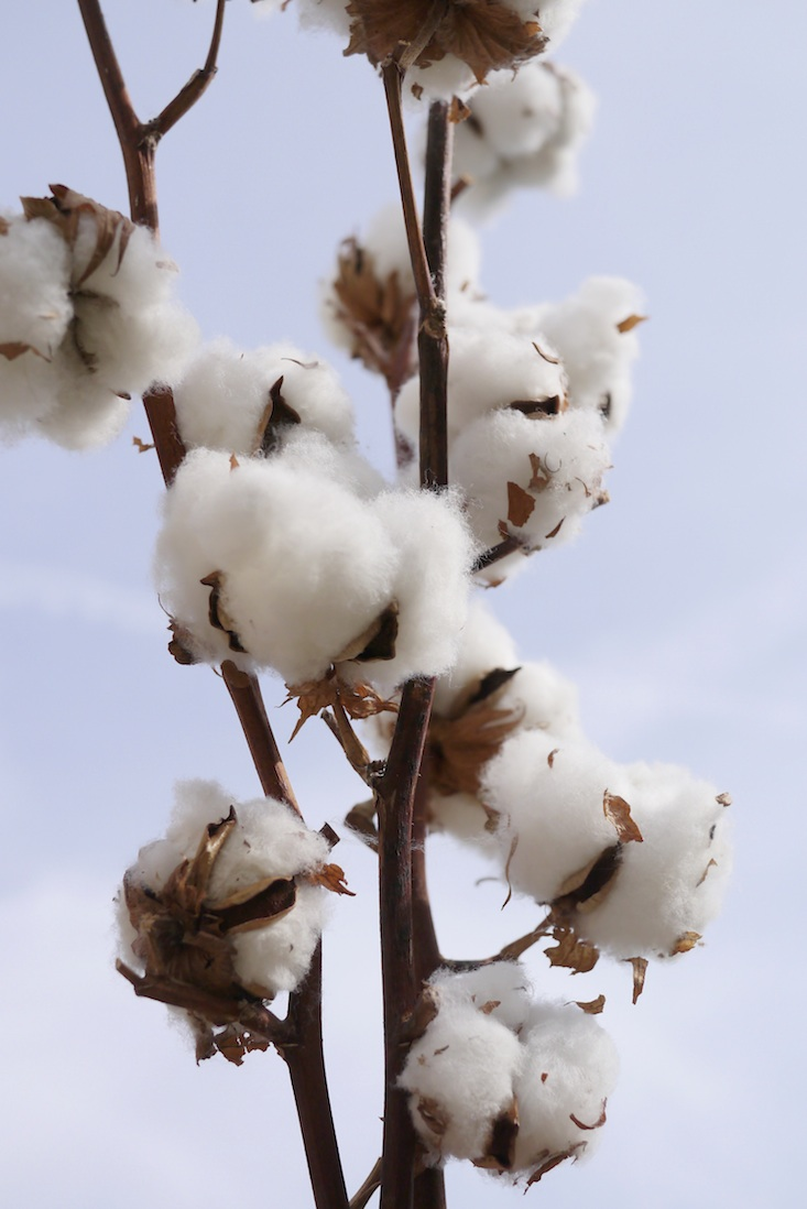 How to deal with the organic cotton shortage?
