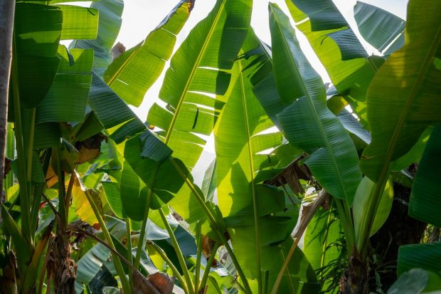 Leaves of the banana plant are the basis for Bananatex fibers.